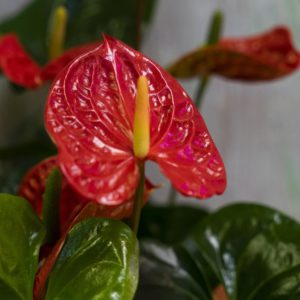 rs Anthurium 2