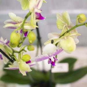 rs Phalaenopsis Cerámica diseño 3