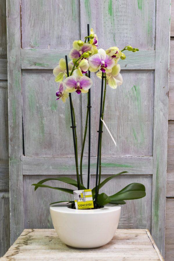 rs Phalaenopsis Cerámica diseño