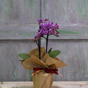 rs Phalaenopsis Mini 2