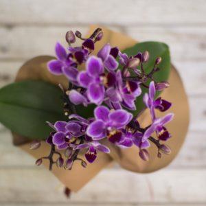 rs Phalaenopsis Mini