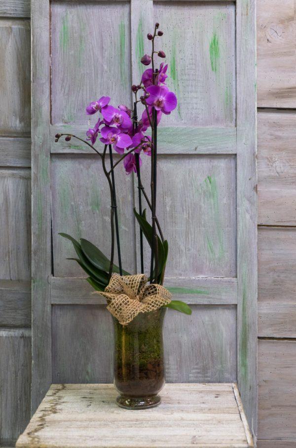 rs Phalaenopsis malva en cristal 1